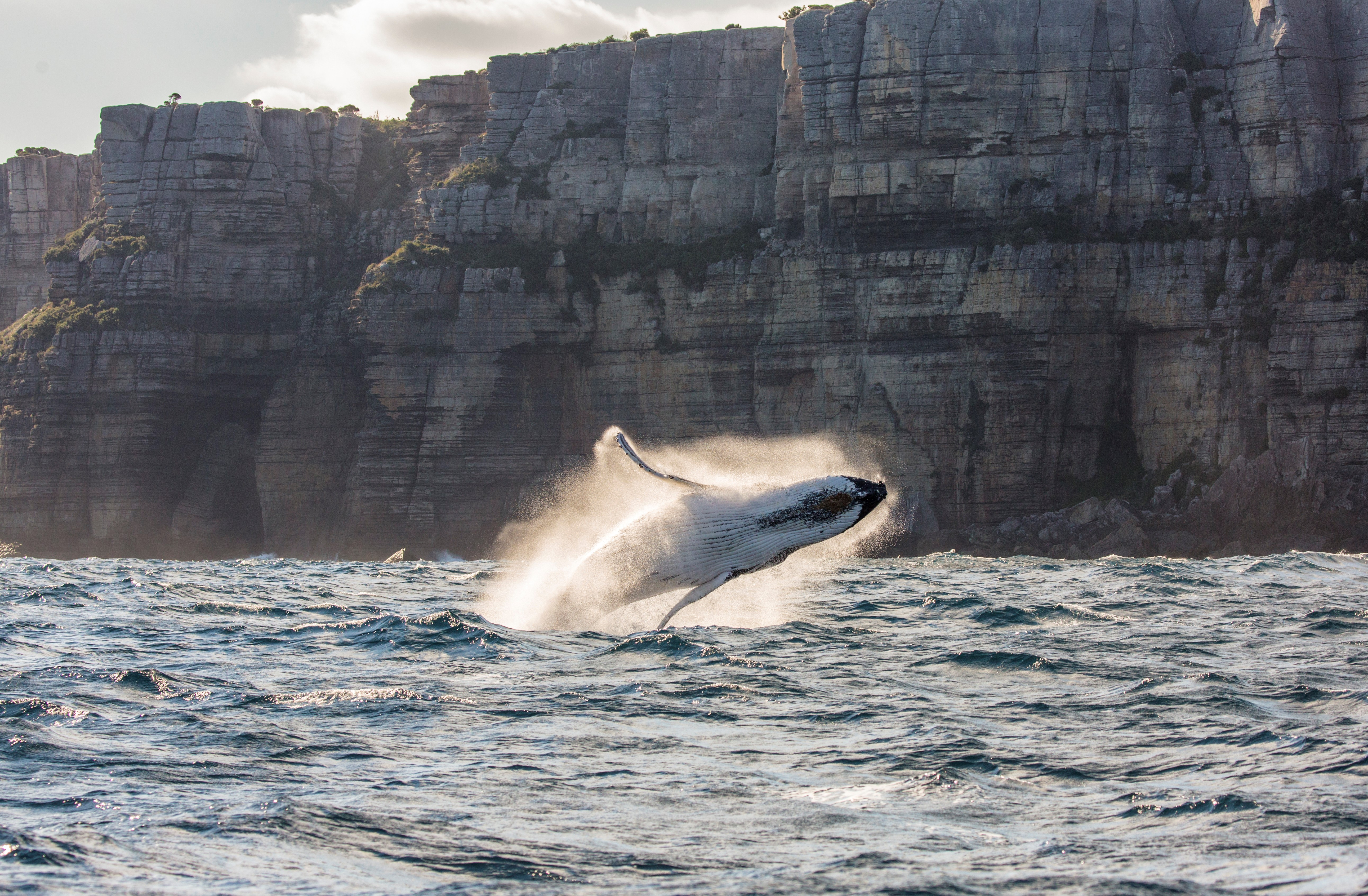 Image of a humpback whale breaching the water at Jervis Bay on the NSW South Coast