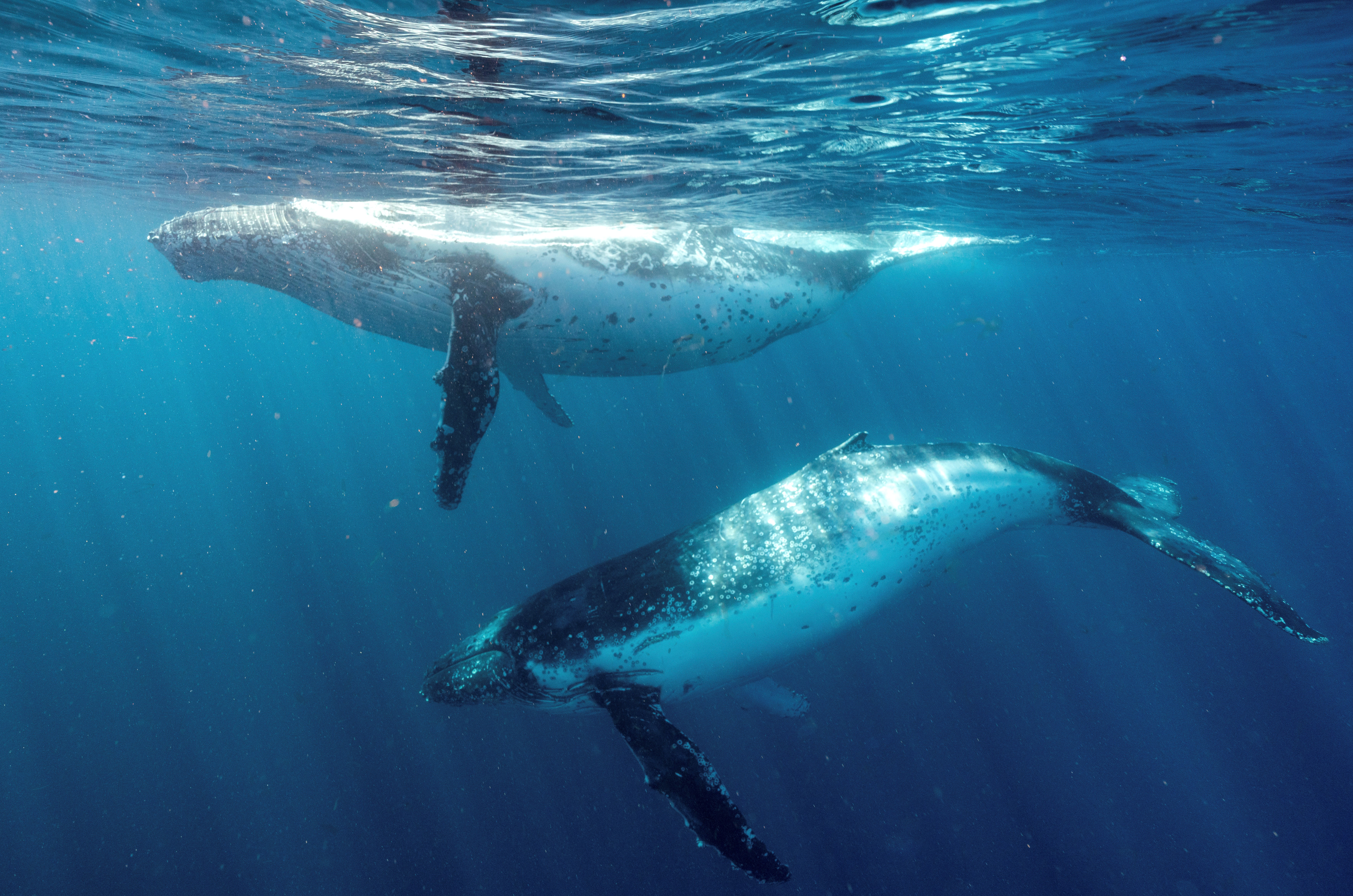 Image of two humpback whales migrating off the NSW south coast near Jervis Bay