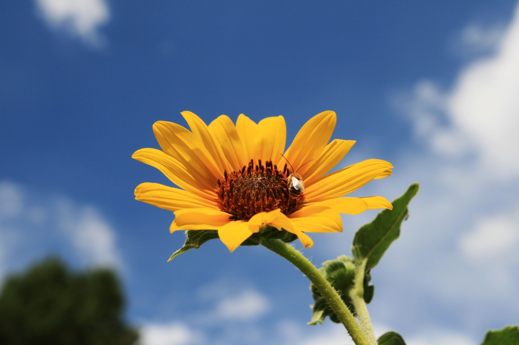 Image of a bee on a sunflower